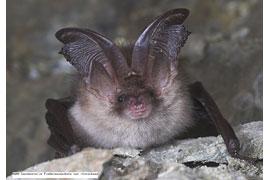 Fledermaus © NABU Landesstelle Fledermausschutz und -forschung