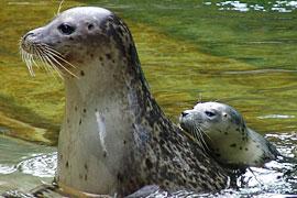 Seehunde im Tierpark Neumünster
